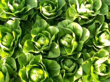 Lettuce - Paris White Cos