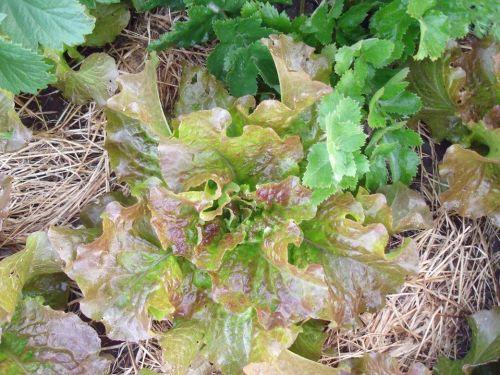 Lettuce - St. Vincent