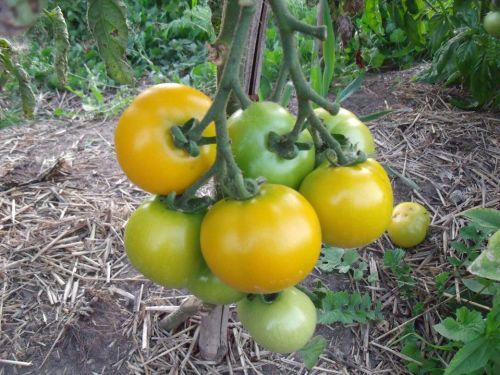 Tomato - Scottish Yellow