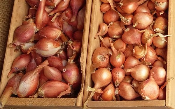 Multiplying Onions & Shallots