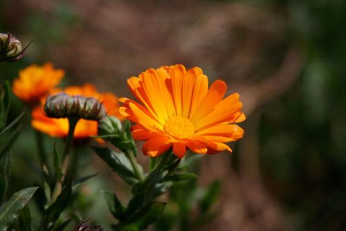 Calendula - Orange