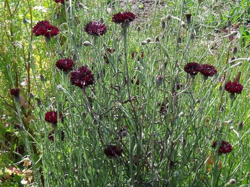 Cornflower-Batchelor's Button - Black Gem