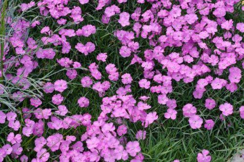 Dianthus - Clove Pink