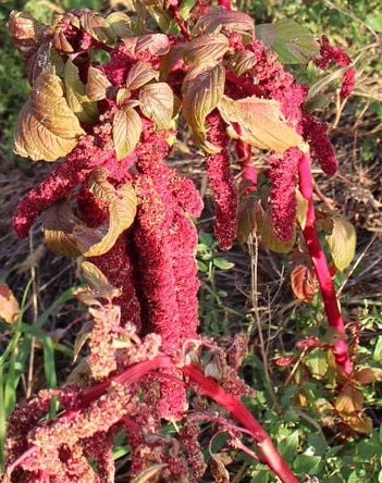 Love Lies Bleeding - Heritage