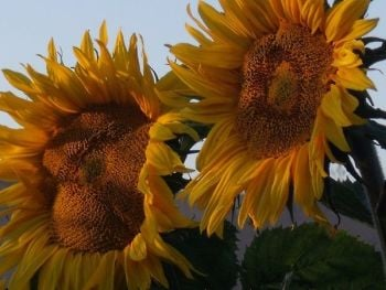 Sunflower - Giant Russian