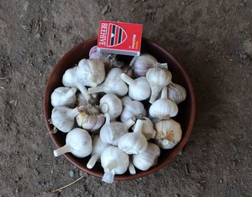 Garlic - Rocambole Eating Grade 500g