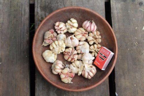 Garlic - Early Purple 500g Eating Grade