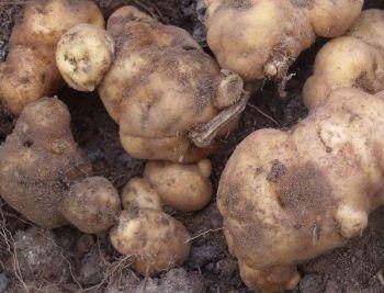 Potato - Hua Karoro