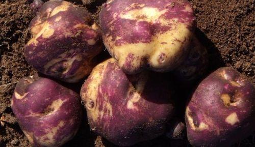 Potato - Kowiniwini