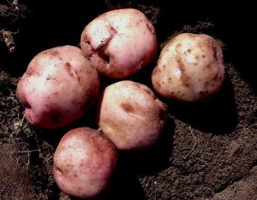Potato Uwhi