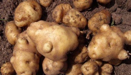 Potato - Ngauteuteu