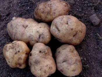 Potato - Matariki