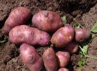 Potato - Paraketia