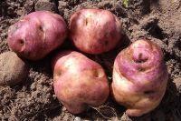 Potato - Chatam Island