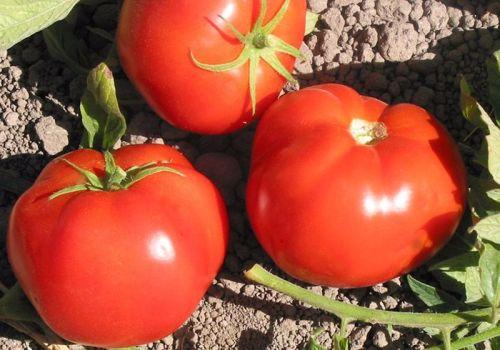 Tomato - Beefsteak Mix