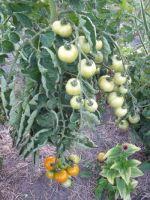 Tomato - Belarus Orange