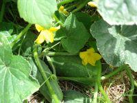 Cucumber - Deka