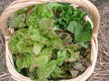 Lettuce - Heritage Mix