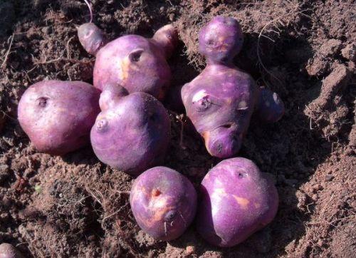 Potato - Peru Peru