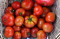 Tomato - Russian Red