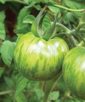 Tomato - Green Zebra