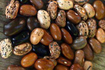 Bean - Cherokee Cornfield