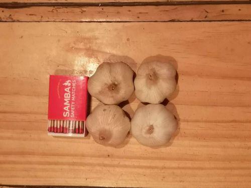 Garlic - Early Pearl Seed 2nd Grade (1 Bulb)