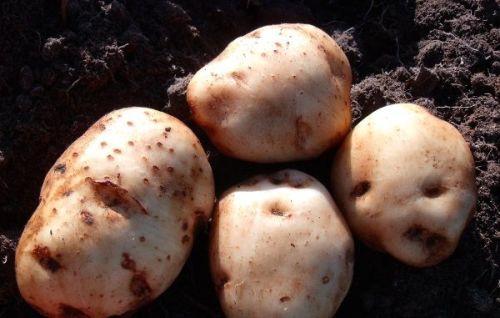 Potato - Henry's Large White