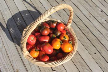 Rainbow Beefsteak Tomato Pack