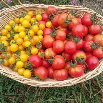 Cherry Tomato Pack