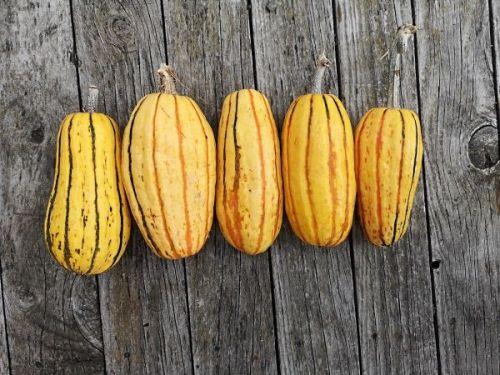 Pumpkin - Delicata