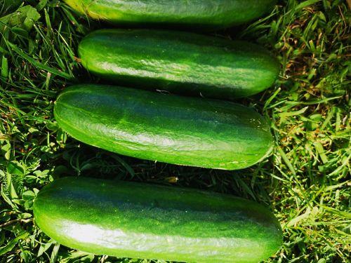 Cucumber - Tendergreen