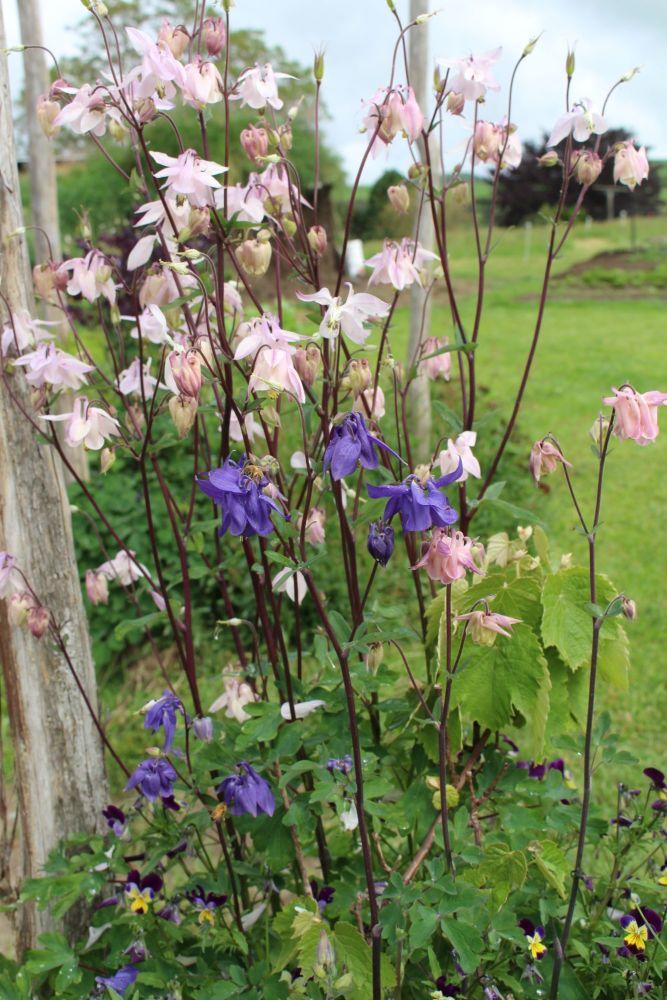 Aquilegia - Grandmother's Garden