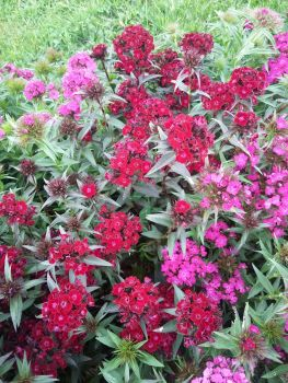 Sweet William - Heritage Mix