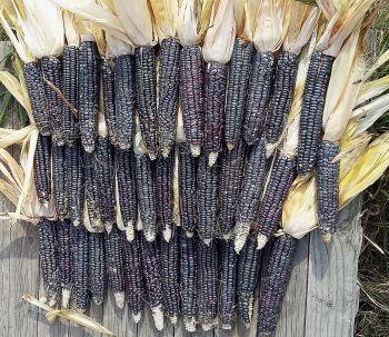 Corn - Black Navajo