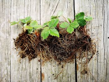 Strawberry - Alpine Bare Rooted Plant