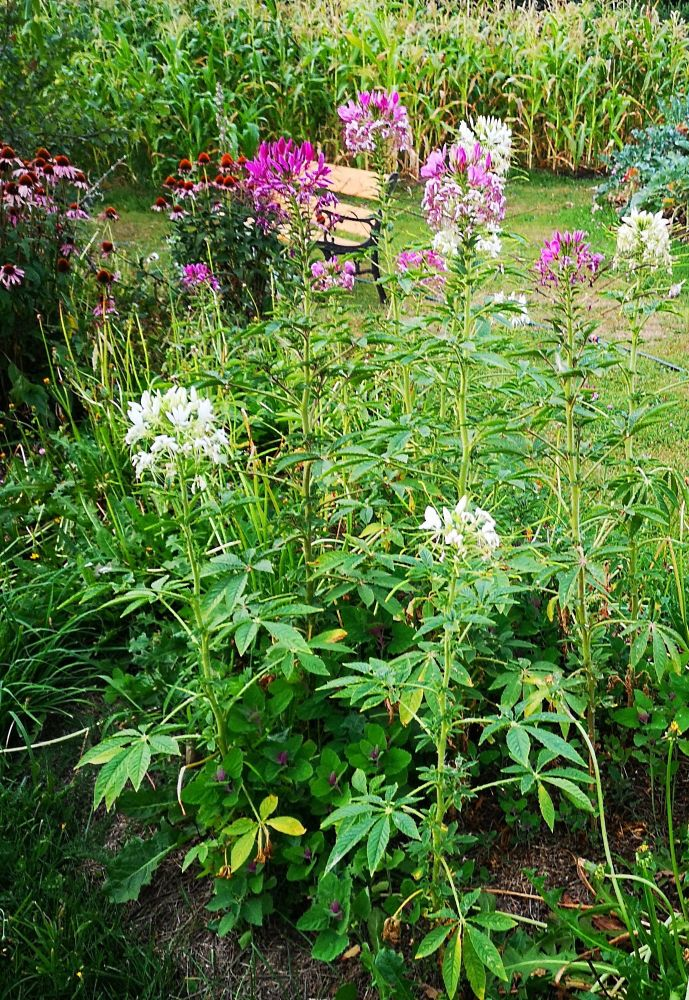 Cleome - Heritage Queen Mix