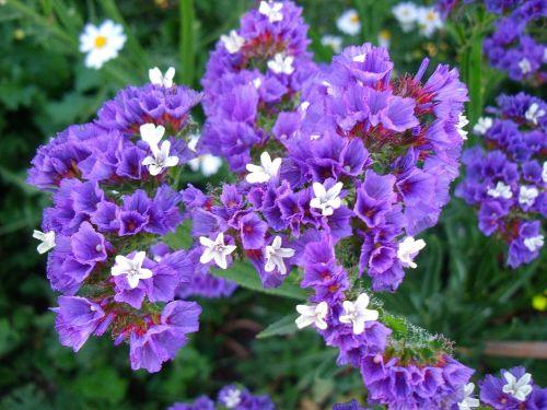 Statice - Sea Lavender