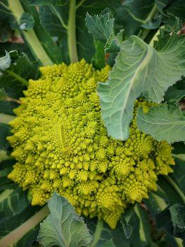 Broccoli - Romanesco
