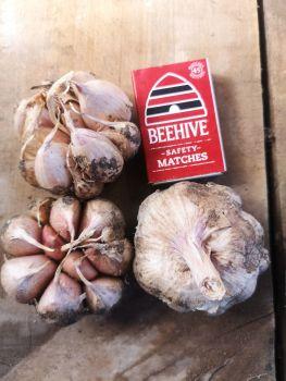 Garlic - Early Purple Seed 1st Grade (1 Bulb)