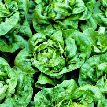 Lettuce - Green Buttercrunch