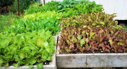 Lettuce - Picking Mix