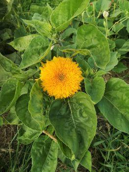 Sunflower - Teddy Bear