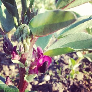 Broad Bean 'Crimson Flowered' Seeds