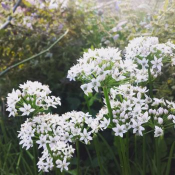 Chive, Garlic Plant