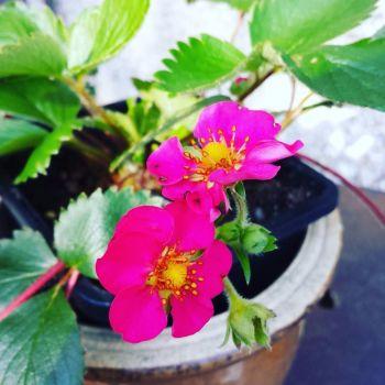 Strawberry 'Lipstick' Plant