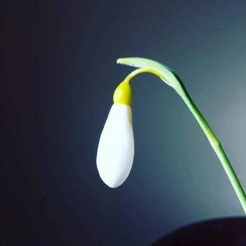 Galanthus plicatus 'Madelaine'