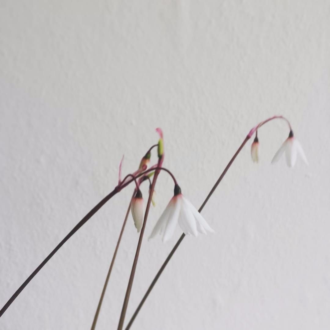 Acis autumnalis Seeds