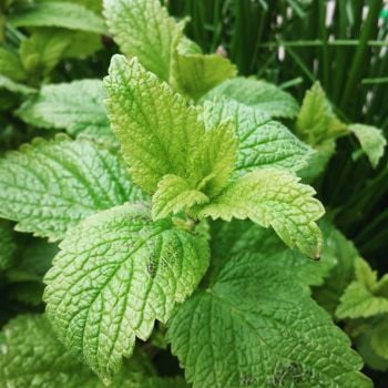 Lemon Balm Seeds (Organic)