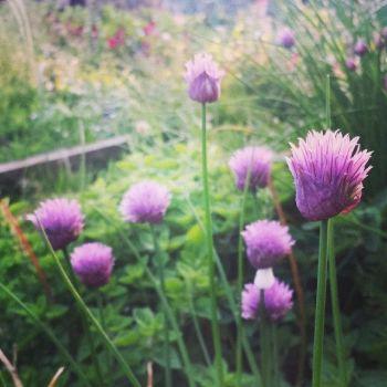 Chive Seeds (Organic)